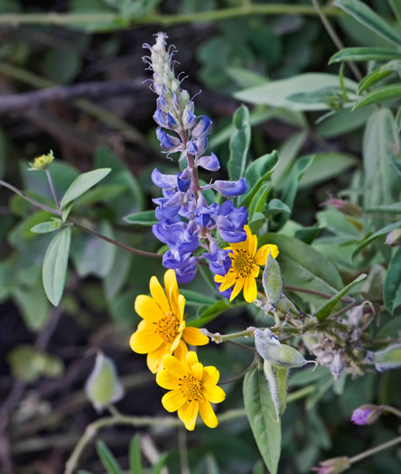 little-lupine